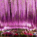 Ashikaga Flower Park, Tochigi