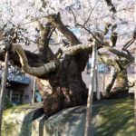 Ishiwari Zakura (Rock Splitting Cherry Tree), Iwate