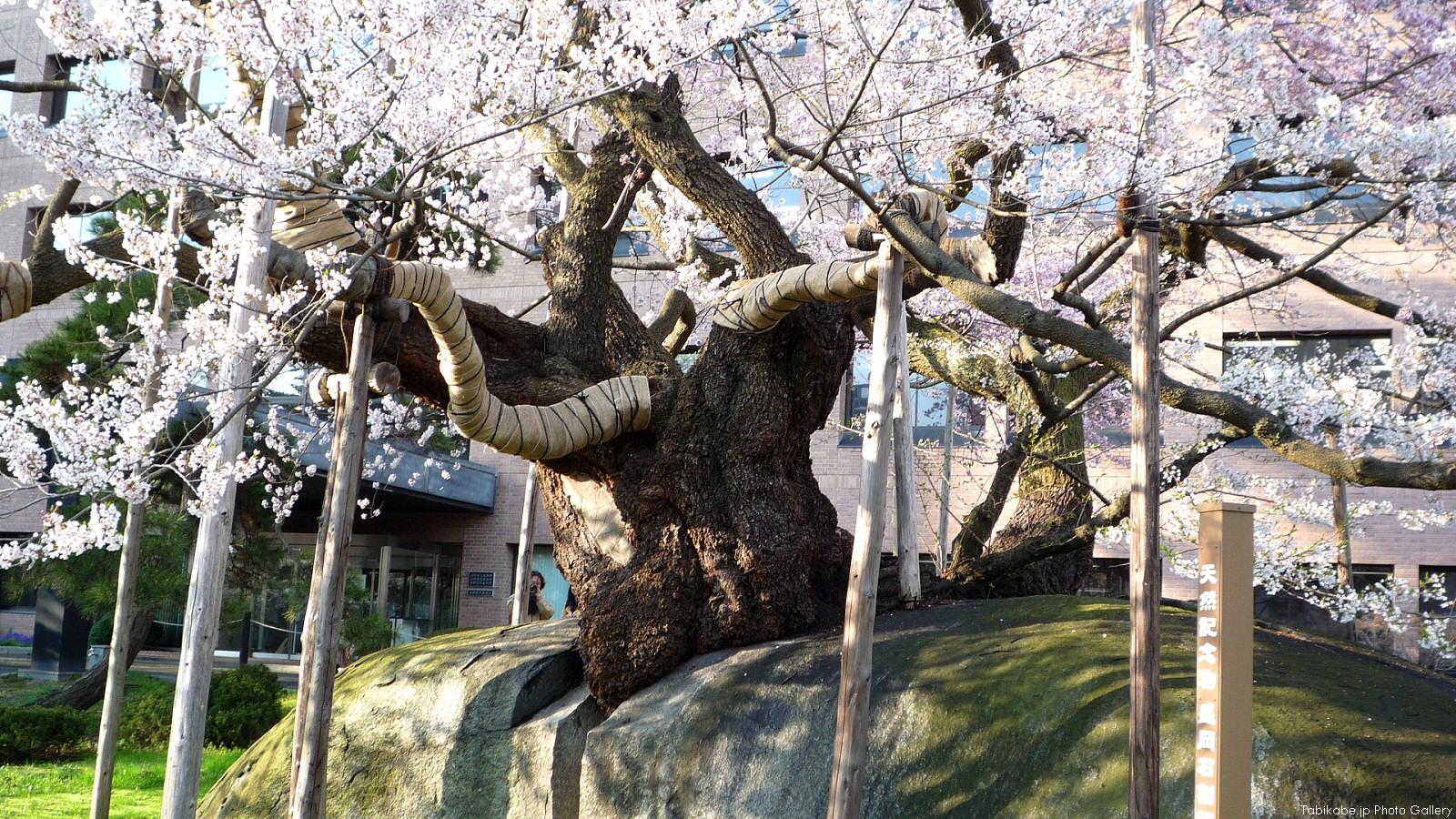 Ishiwari Zakura On One Page Charms And Highlights Quickly Rock Splitting Cherry Tree Iwate Fantastic Places In Cool Japan